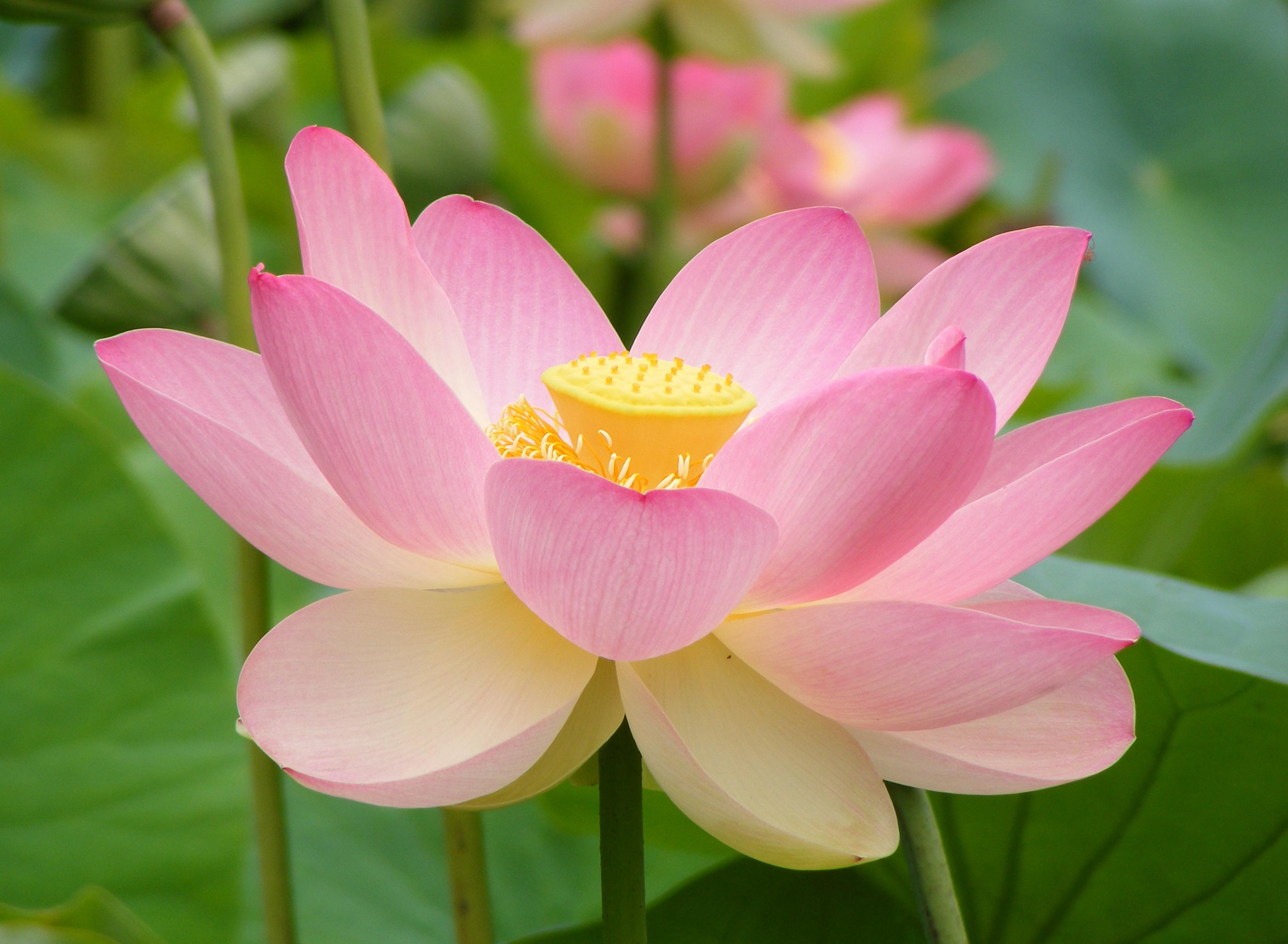 National symbols animal birdtreeflowerfruit emblem of india national flower lotus of india biocorpaavc Image collections